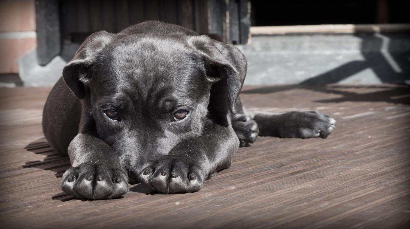 Què hem de saber abans d'adoptar un cadell?
